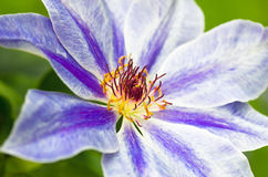 Purple flower background. Beautiful purple spring flower in a forest close-up background Royalty Free Stock Photography
