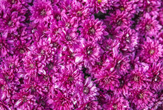 Purple flower background Royalty Free Stock Photo