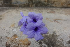 Purple flower on background. Cracked cement Stock Photos