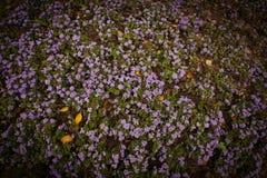 Purple flower background. Field of purple flower background Stock Images