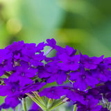 Purple flower background. Purple flower on a green background Royalty Free Stock Images
