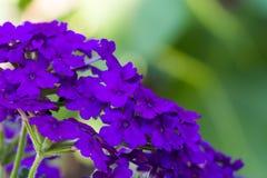 Purple flower background. Purple flower on a green background Stock Image