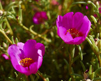 Purple Flower Background. In a green garden Stock Image