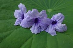 Purple flower on background Lotus. Leaf Stock Photos
