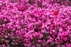 Purple flower background. Purple and pink flower background Royalty Free Stock Images