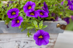 Purple flower background Stock Photography