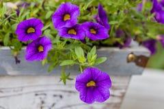 Purple flower background. Purple flower in the sun Stock Photography