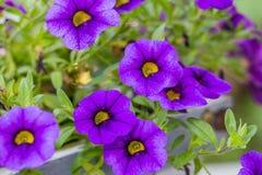 Purple flower background. Purple flower in the sun Stock Image