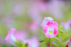 Purple flower background, Torenia. Blooming Torenia, purple little flower background Royalty Free Stock Photography