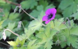 Purple Flower. Beautiful purple flower in lush green garden setting Royalty Free Stock Image