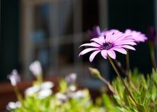 Purple flower. Beautiful purple flower rising into bright sunshine Stock Photography
