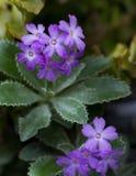 Purple flower. Beautiful purple flower. Spring nature Stock Photo