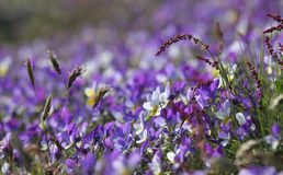 Purple Flower Bed. A bed of purple flowers in a sunny hill Stock Image