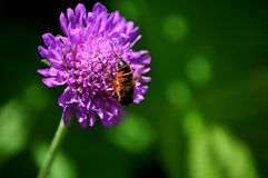 Purple flower and bee Royalty Free Stock Photography