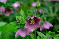 Bell-shaped Purple flower royalty free stock image