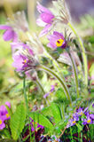 Purple flower bells in the green garden Royalty Free Stock Photography