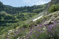 Peaks above Sundance. Purple flower below Mount Timpanogas Royalty Free Stock Photo