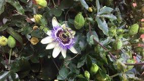 The purple flower. Big purple flower on the wall stock footage