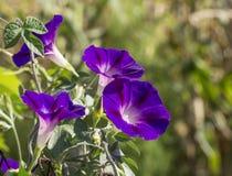 Purple flower bindweed Royalty Free Stock Photos