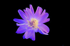 Purple flower. On a black background isolated Royalty Free Stock Photos