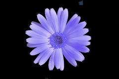 Purple flower. On a black background isolated Stock Image