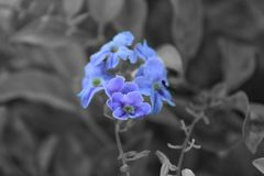 Purple flower in black background stock image