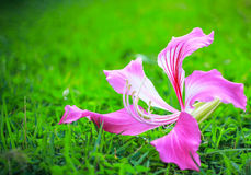 Purple flower blooming on green grass. Pink purple bauhinia flower blooming on green grass close up Royalty Free Stock Photos