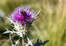 Purple flower. Blooming thistle on mountain. Photo taken at a height of three thousand meters above sea level Stock Photos