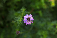 Purple flower blooms. Close up of plant with tiny purple flowers with green background Stock Photo