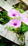purple flower blossom and green leaves on old brick wall background Royalty Free Stock Photo