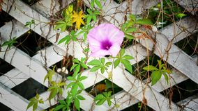 Purple flower blossom and green leaves on old brick wall background Stock Photos