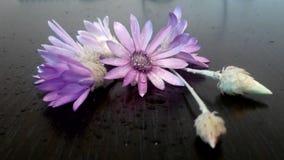 Purple flower blossom Xeranthemum annuum. Xeranthemum annuum flower on wood texture Stock Photos