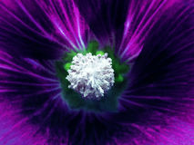 Purple flower on a blurred background. Macro. Closeup. Furry white center.  For design. Royalty Free Stock Photography