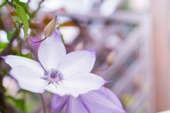 Purple flower on blurred backgrounds, selective focus with copy space royalty free stock image