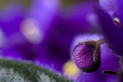 Purple flower bud Stock Images
