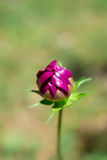 Purple flower bud on the green background stock images