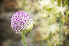 Purple flower bud royalty free stock image
