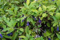 Purple flower buds of acnistus solanaceae australian plant blooming in garden Royalty Free Stock Images
