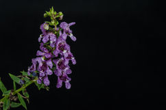 Purple Flower Bunch. Isolated on black background Stock Images