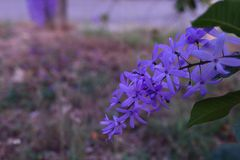 Purple flower bunches tend to bloom and bloom at the same time. The flowers are quite blooming and will bloom for many days. Purple flower bunches tend to bloom royalty free stock photos