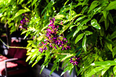 Purple flower. Bush hanging from a wall Royalty Free Stock Image