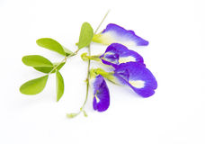 Purple flower. Butterfly pea flower on a white background Royalty Free Stock Photography