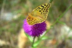Purple flower butterfly Royalty Free Stock Image