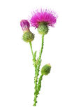 Purple flower of carduus with green bud. Royalty Free Stock Photo
