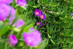 Purple flower of a Carpobrotus chilensis Royalty Free Stock Image