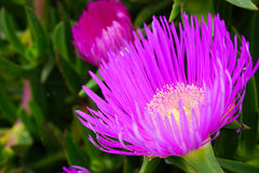 Purple flower of a Carpobrotus chilensis Royalty Free Stock Photos