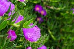Purple flower of a Carpobrotus chilensis Stock Images