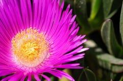 Purple flower of a Carpobrotus chilensis plant Stock Images