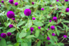 Purple flower. In Chiang mai , Thailand Stock Photos