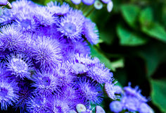 Purple  flower in chiangmai province thailand. Royalty Free Stock Photo